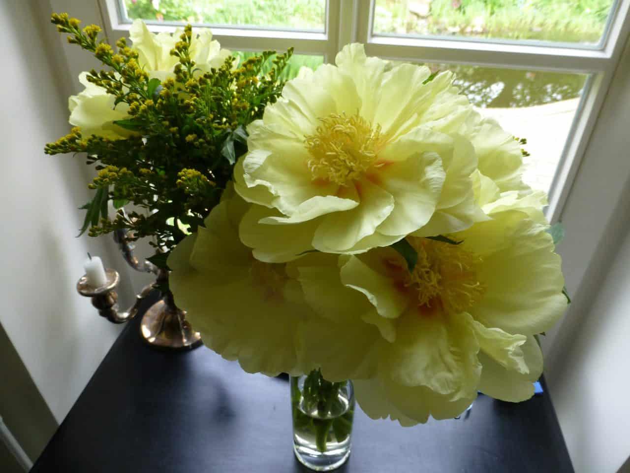 Die gelben Blüten einer Pfingstrose