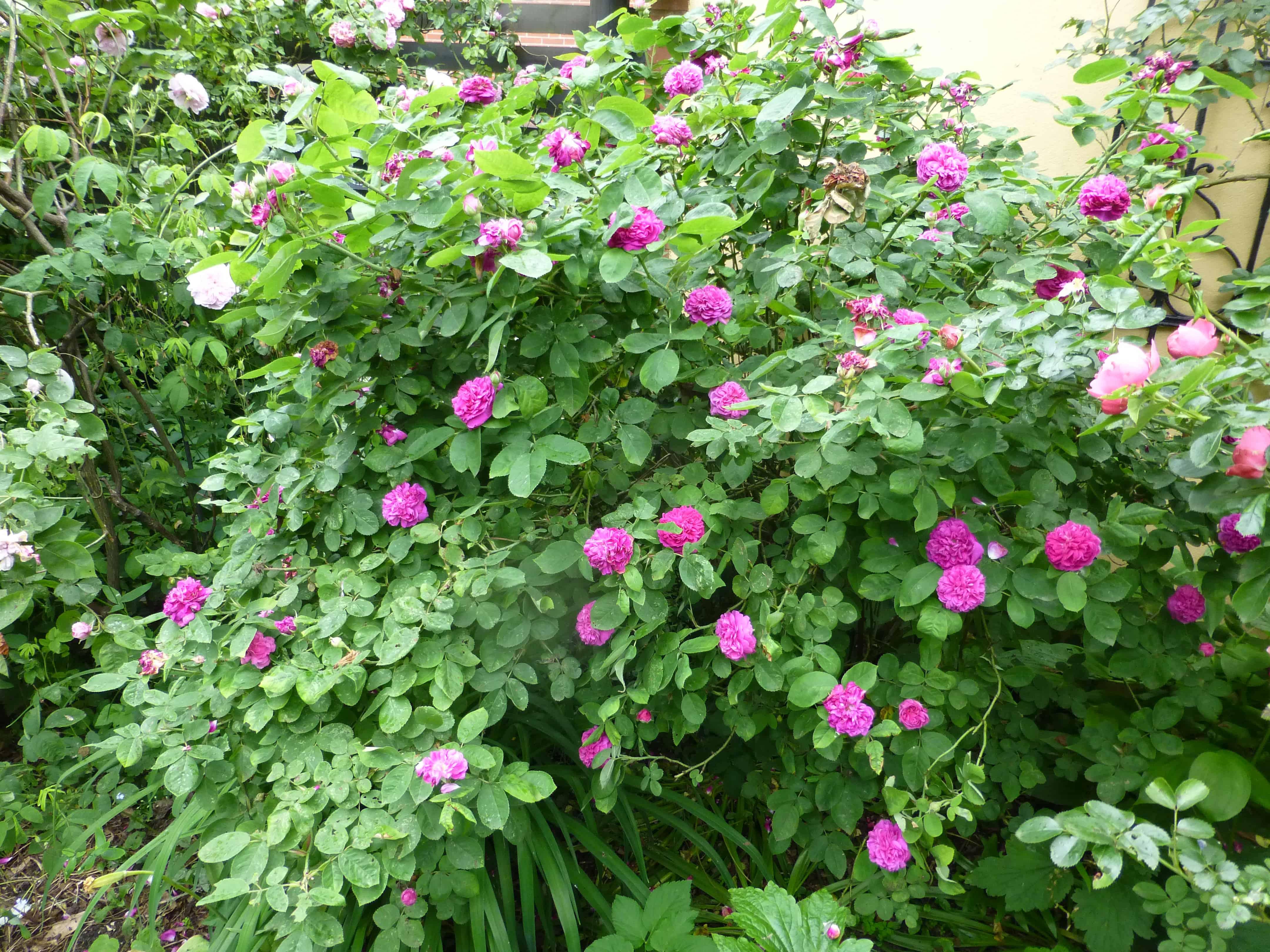 historische rosen damaszener rosen nachgeharkt