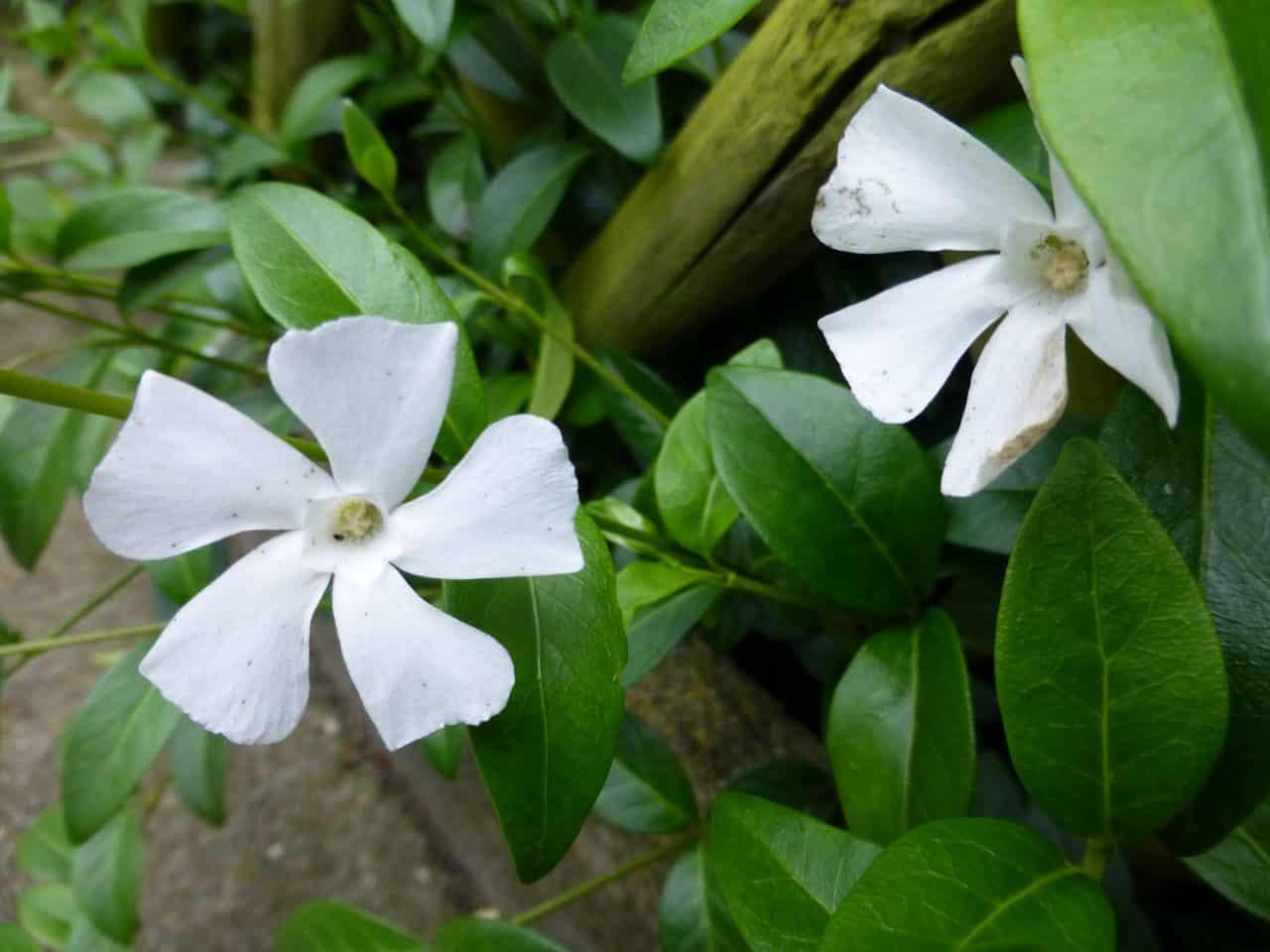 Weiße Blüte der Vinca