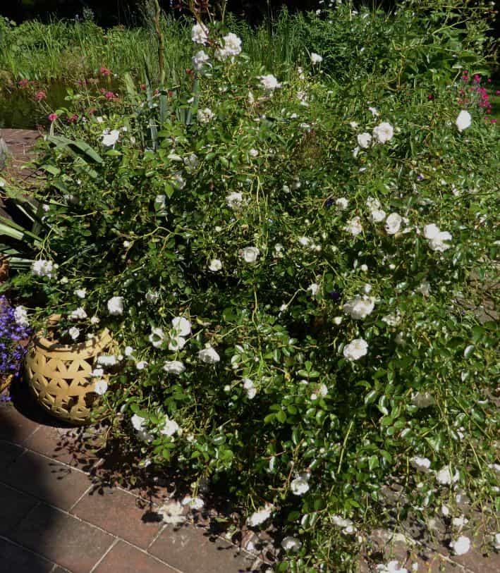 Eine blühende Bodendeckerrose namens Swany