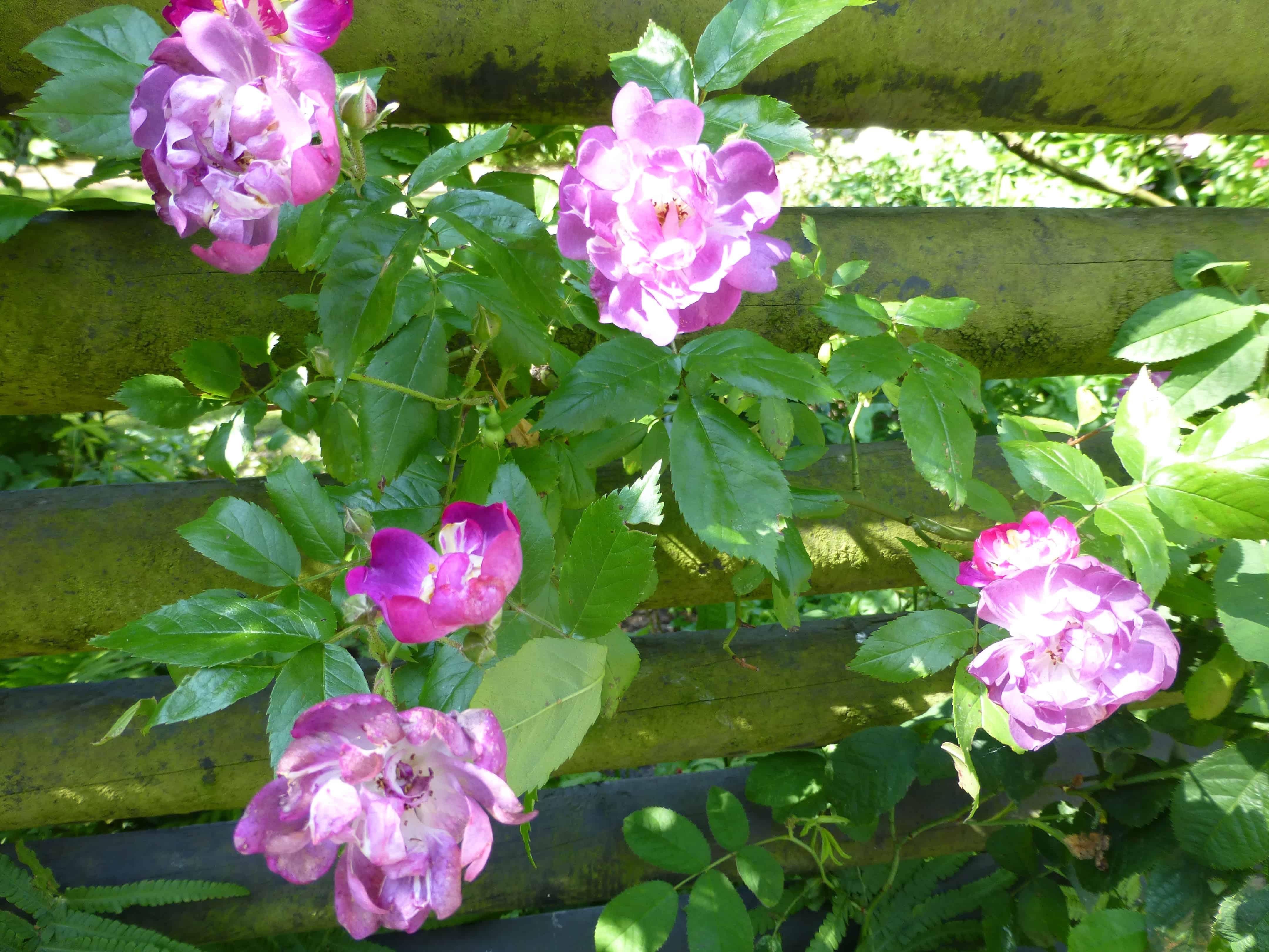 Blüten der Rose Veilchenblau