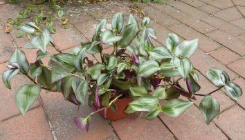 die dreimasterblume – ideal für das beet, den teichrand oder als, Garten seite