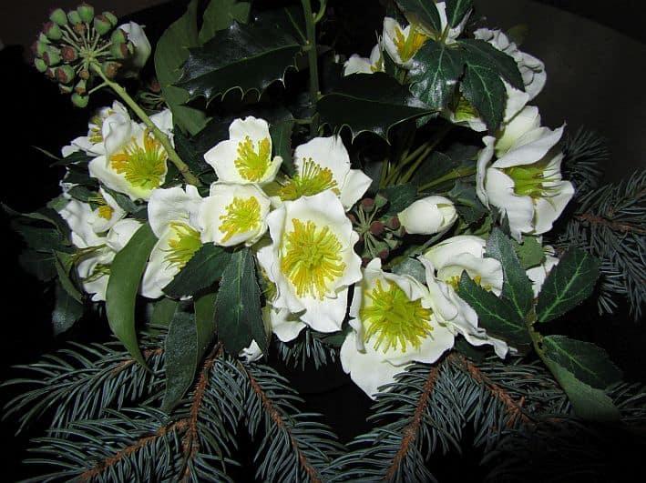 Weiß blühende Christrosen