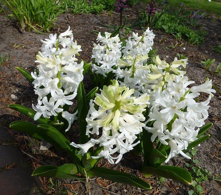 Weiß blühende Hyazinthen