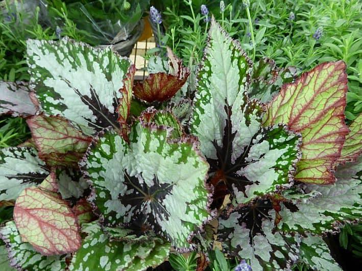zimmerpflanzen kaufen innenarchitektur zimmerpflanzen kaufen hohe zimmerpflanzen kaufen ficus. Black Bedroom Furniture Sets. Home Design Ideas