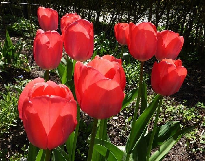 Rot blühende Tulpen