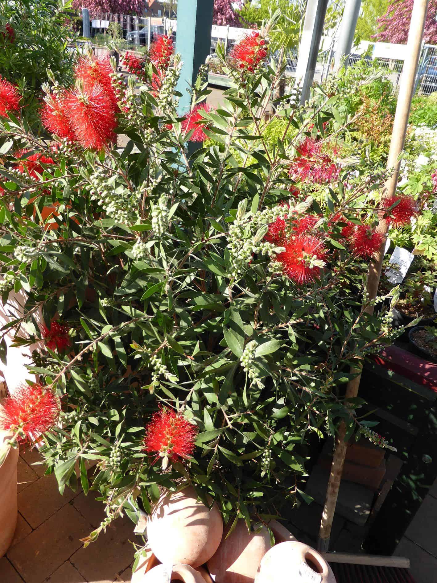 exotische k belpflanzen f r den eigenen balkon oder die terrasse nachgeharkt. Black Bedroom Furniture Sets. Home Design Ideas