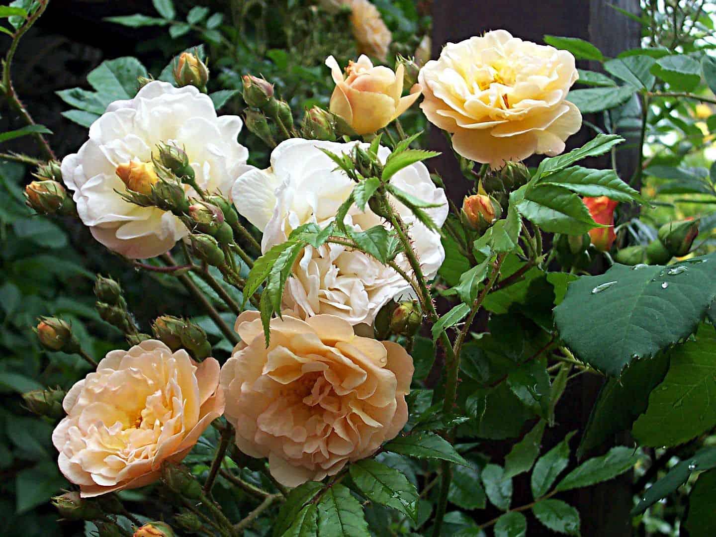 Prächtige Rambler-Rosen