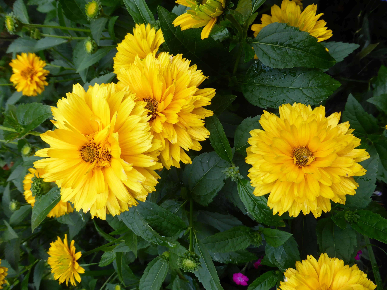 Gelb blühendes Sonnenauge