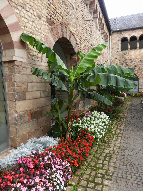 Einen Bananenstaude an einer Mauer