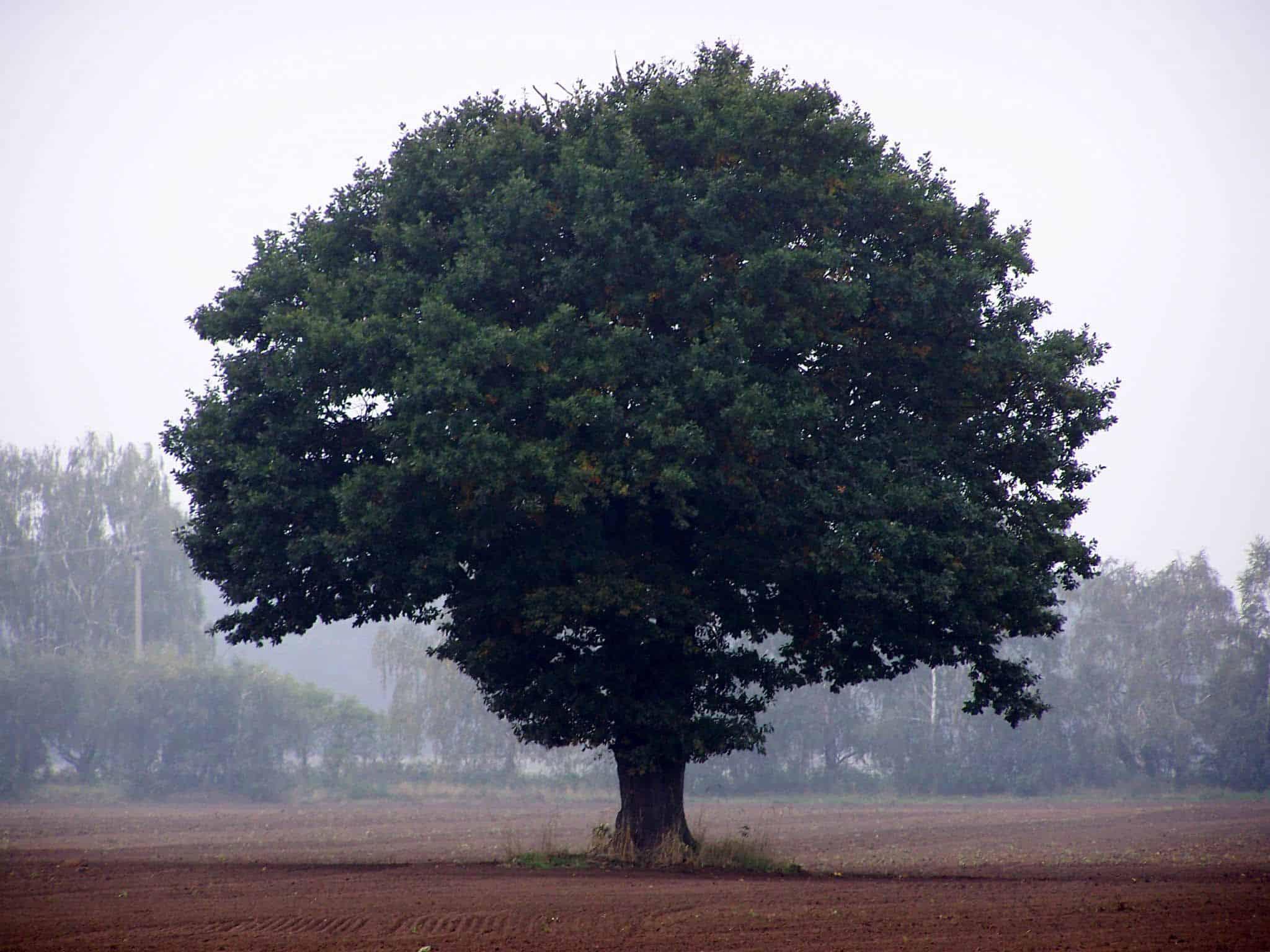 Ein gut gewachsener Ahornbaum