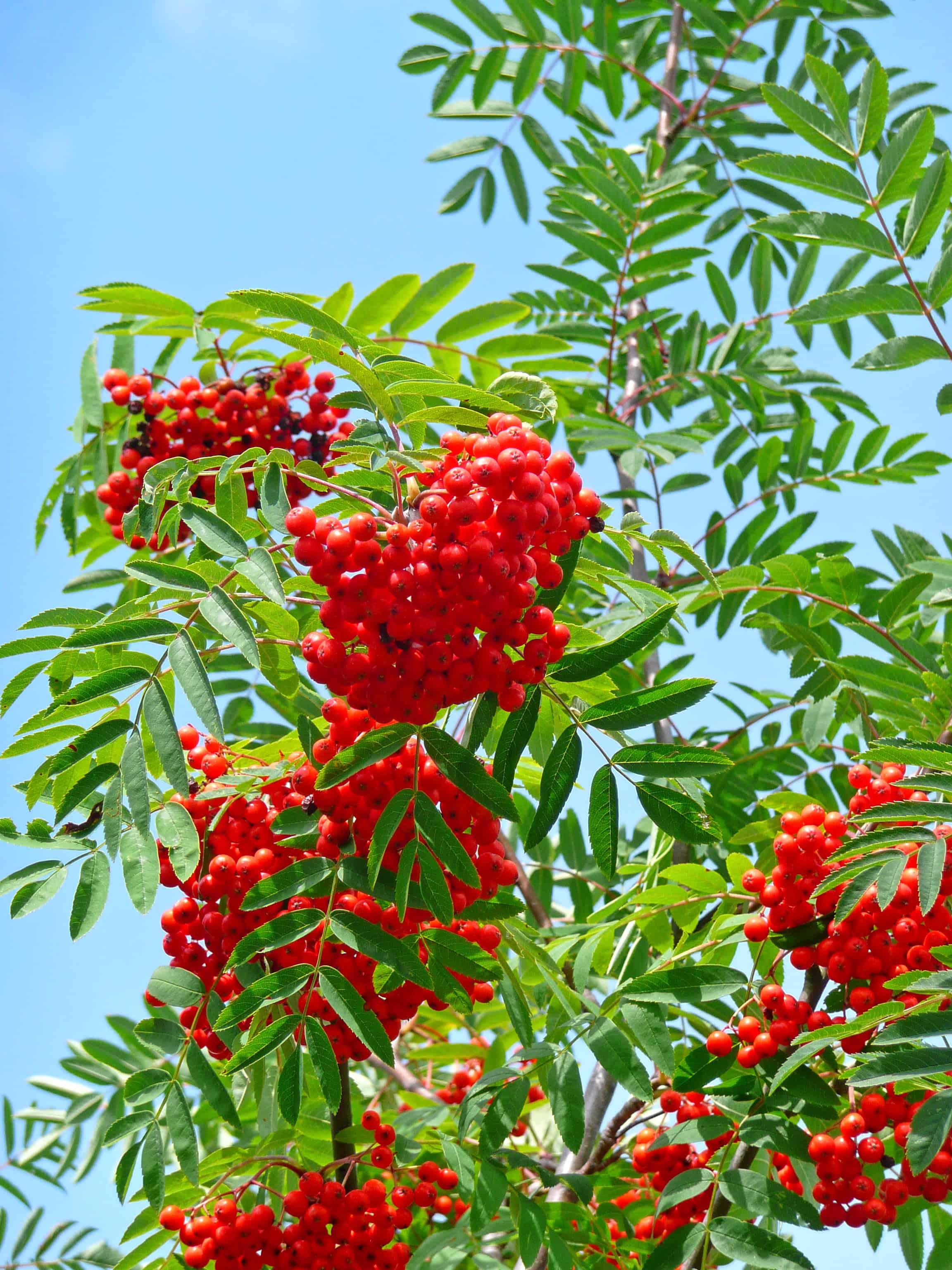 Eine Früchte tragende Eberesche