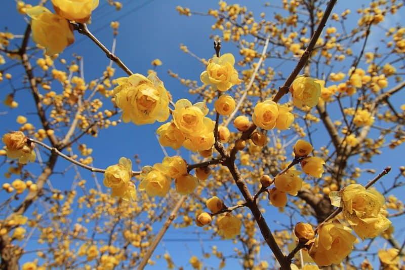 Chinesische Winterblüte