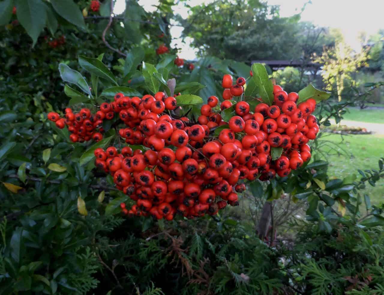 Rote Feuerdorn-Früchte