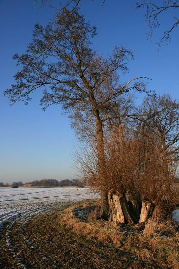 Eine Erle in winterlicher Landschaft