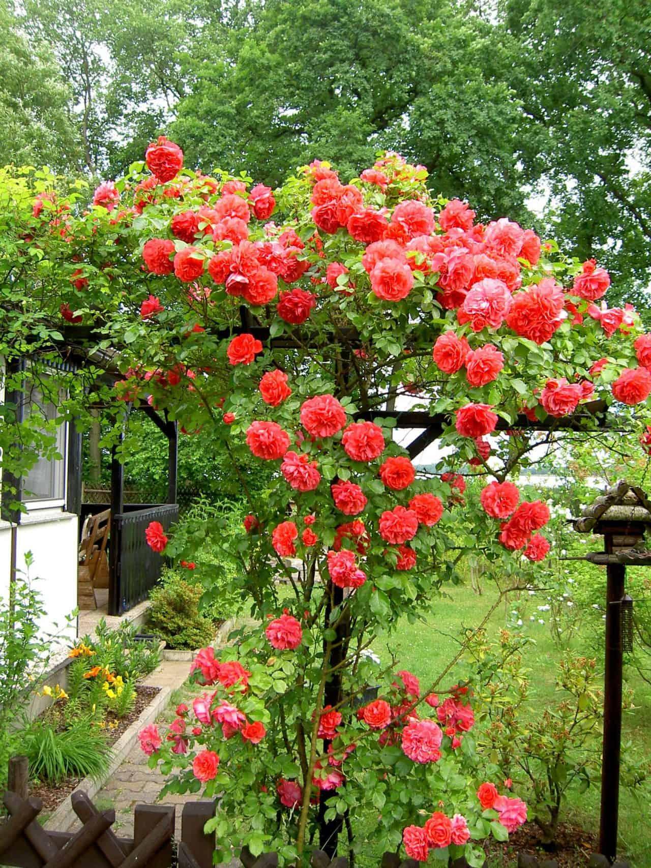 Eine rot blühende Kletterrose