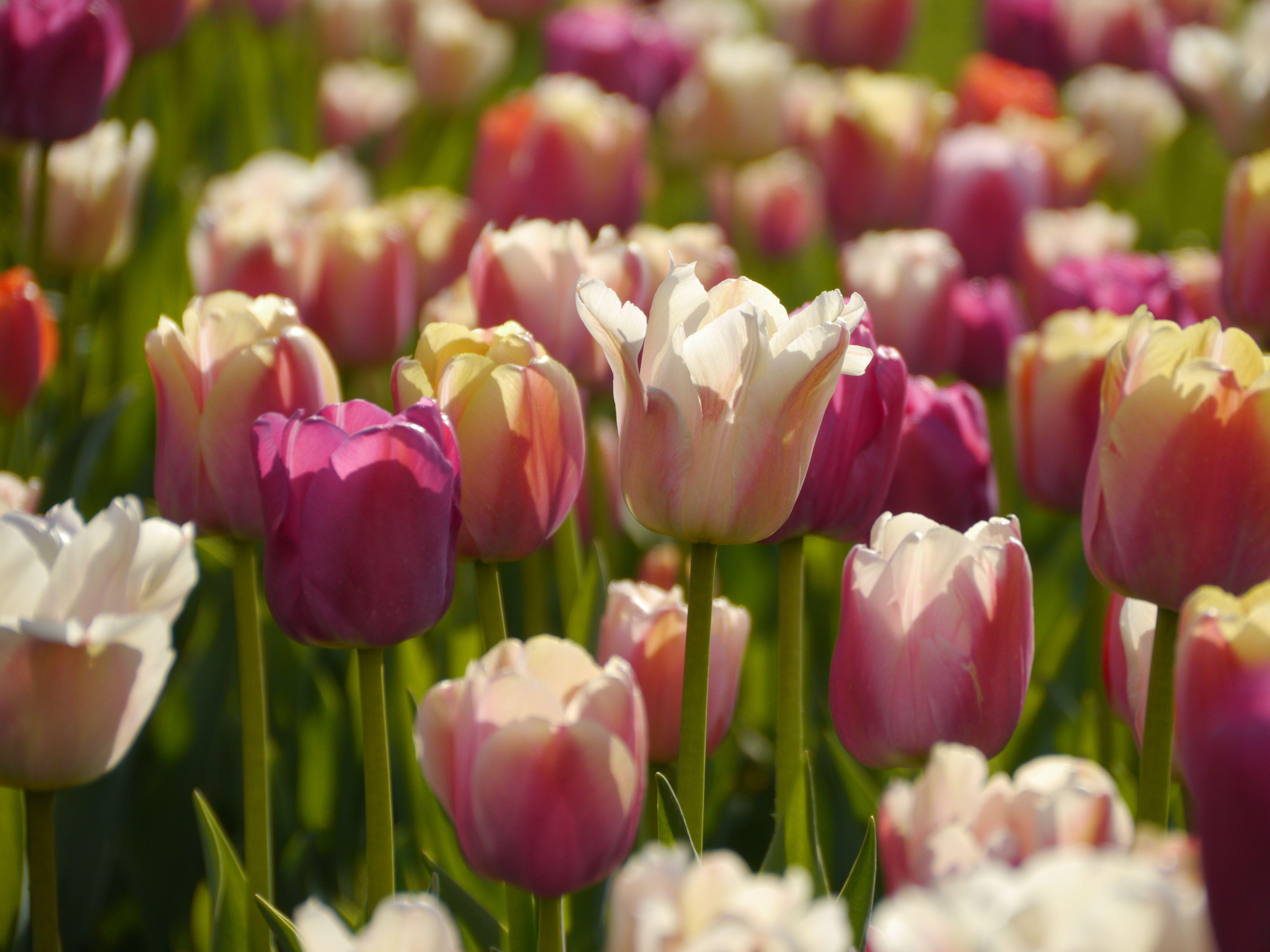 tulpen im garten – tipps rund um die pflege für die, Gartengerate ideen