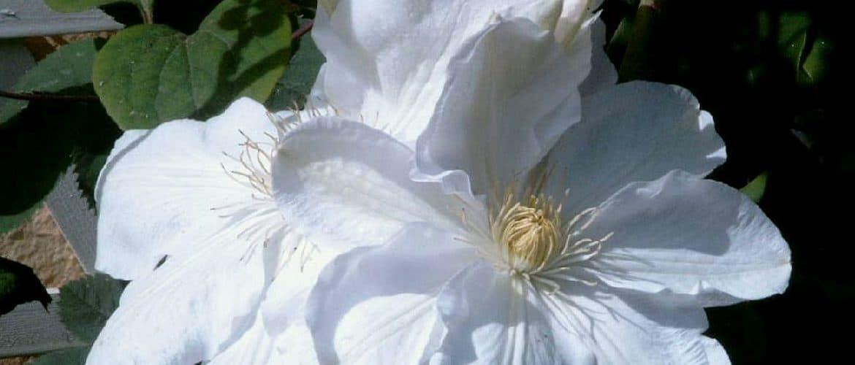 Weiße Clematisblüte